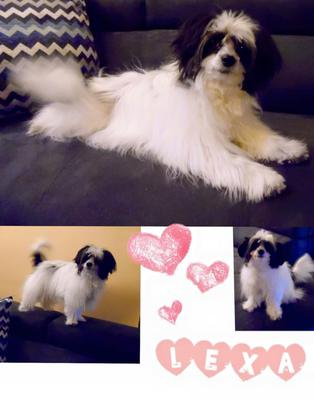 Our Papitese Lexa is a fantastic little dog. Very intelligent,very opinionated and the happiest little soul ever!