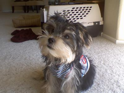 One of the cutest Morkie puppies