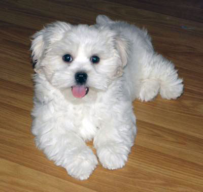 Adopted Maltese - Coco