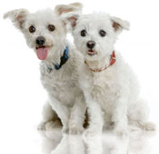 Maltese dog siblings