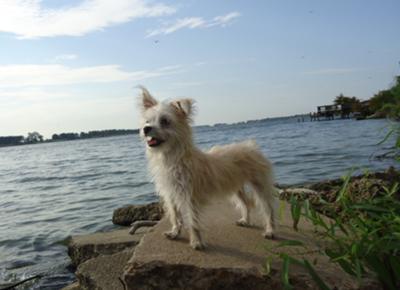 Maltese Cairn Terrier - Pup