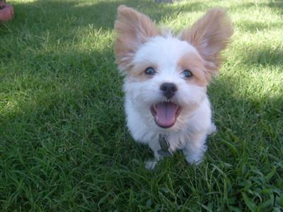 Cali the best of all Maltese Chihuahua puppies!