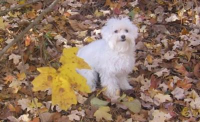Maltese Poo playing in the leaves