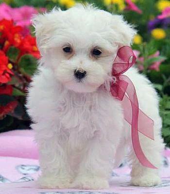 Maltese Puppy Dog - Ruby