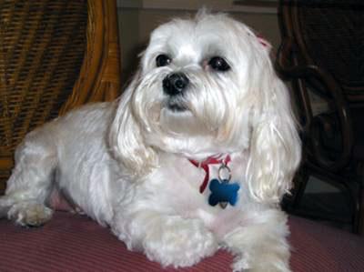 Maltese Rescue Dog - Maddie