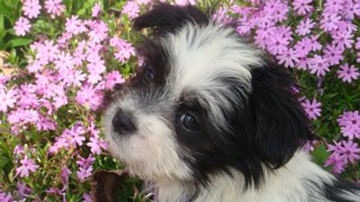 Spring Fling with Roxy the Maltese Shih Tzu Puppy