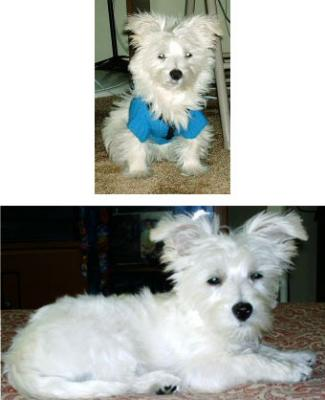 Maltese Westie Puppies
