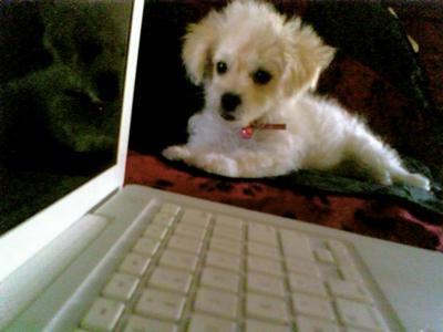 Precious Malti-poo puppy Zoe