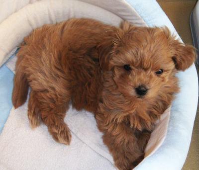 Coco, 8 weeks old