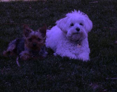 Oliver and his Maltipoo cousin Holly