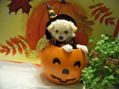 Baylee- 9 weeks (Maltese Chihuahua), Witch Costume