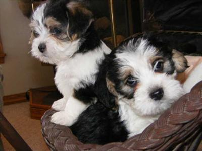 Beagle Mix Puppies - Polly & Swiffers