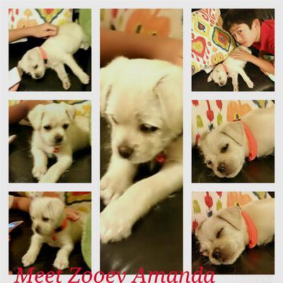Meet our Pug/Maltese mix baby girl