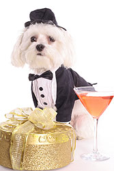 Fancy Maltese dog