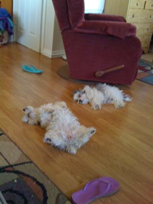 Morkies love to sleep on their backs!