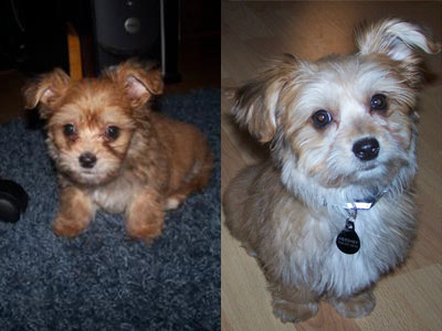 Yorkie Maltese Mix Puppies
