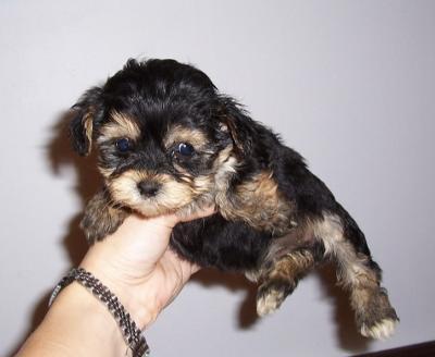 Yorkie Maltese mix pup...