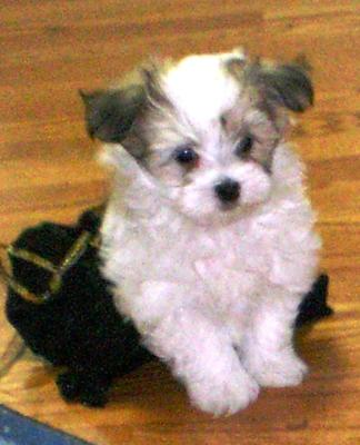 My Little Yorkie Maltese mix puppy Cookie is a baby of my Twinkle Star a