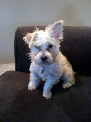Cute ears on a Yorkie Maltese mix puppy