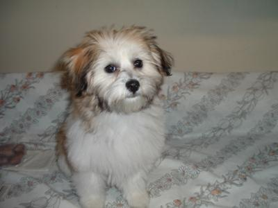 Yorkie Maltese Mix Puppy - Misty Rose