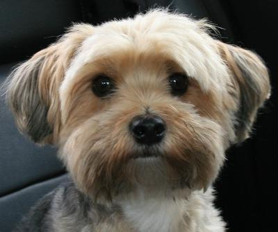 Brown Yorkie Maltese