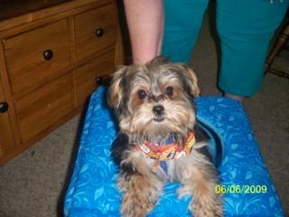 Milo the Morkie puppy